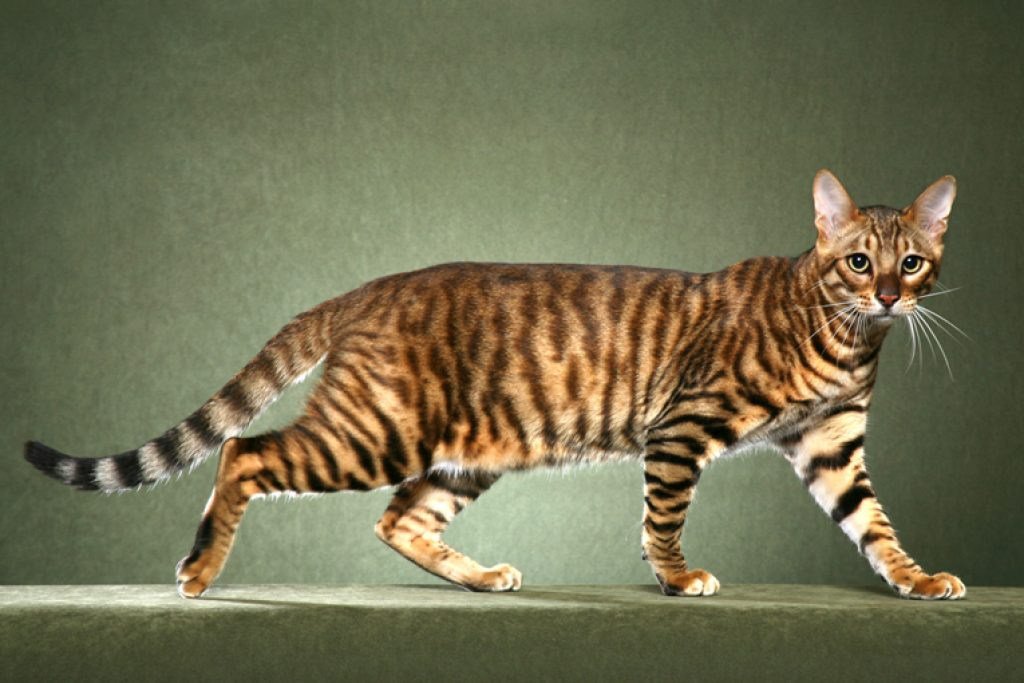 The Ashera: The World's Most Expensive Domestic Cat - Pricey Buys